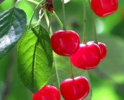 Cereja, pequena e poderosa frutinha. Quer saber por quê?