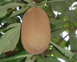 De antioxidante à fonte de energia: descubra os benefícios do cupuaçu