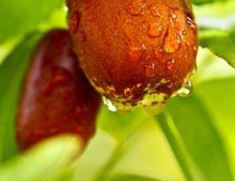 Jujuba ou juá – descubra porque essa fruta está ganhando os brasileiros