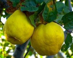 Marmelo, um segredo da culinária que faz bem pra saúde
