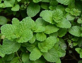 Menta é uma erva da família do hortelã, cheia de benefícios para a saúde