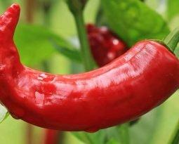 Pimenta malagueta, forte, popular e poderosa na culinária e na medicina