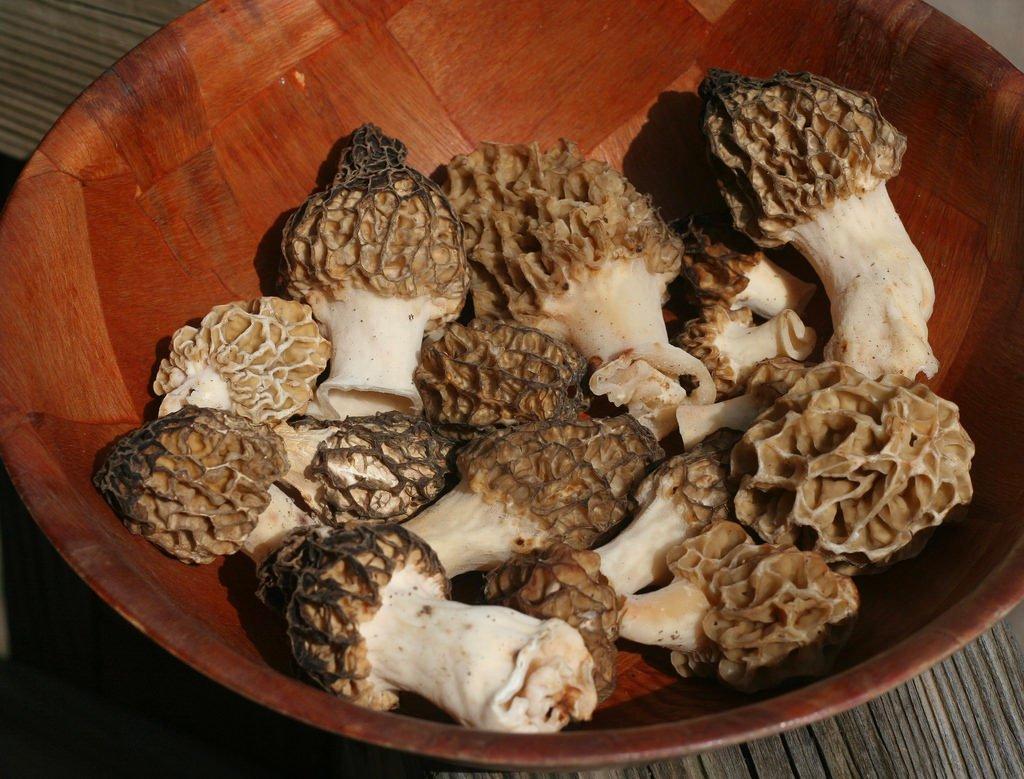 cogumelos morel